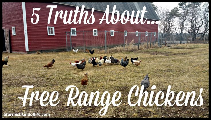 Want to know the truth about raising free range chickens? Here are five things you need to know.