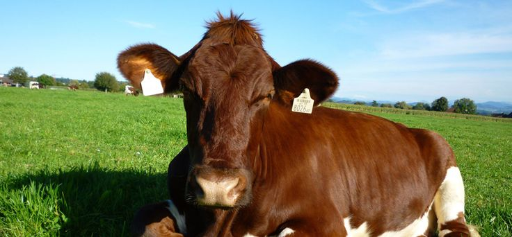 Die Viehvermarktung von Rolf Hinder ist der Viehmarkt in der Schweiz, wenn Sie eine Kuh kaufen möchten. Die Ansprüche werden immer größer und das ist der Grund warum wir mit unserer Viehhandlung in der Schweiz bekannt sind. Wir bieten Aufzuchtkälber, Jungvieh und wenn Sie  Braunvieh kaufen mächten, sind wir der richtige Viehmarkt.