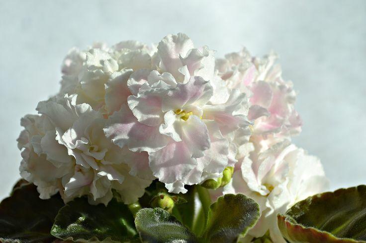 Фиалки в Курске - ПТ- Розовые Облака