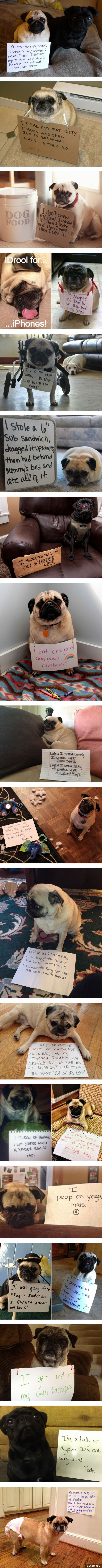 dog shaming - pug compilation