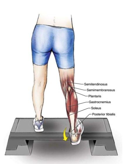 In normal everyday activities, the muscles of the foot and lower leg are used more extensively than any other muscles in the body. Even though the musculature of the lower leg is considerably smaller than that of the upper leg, it essentially supports the whole body and receives the heaviest load during both walking and …
