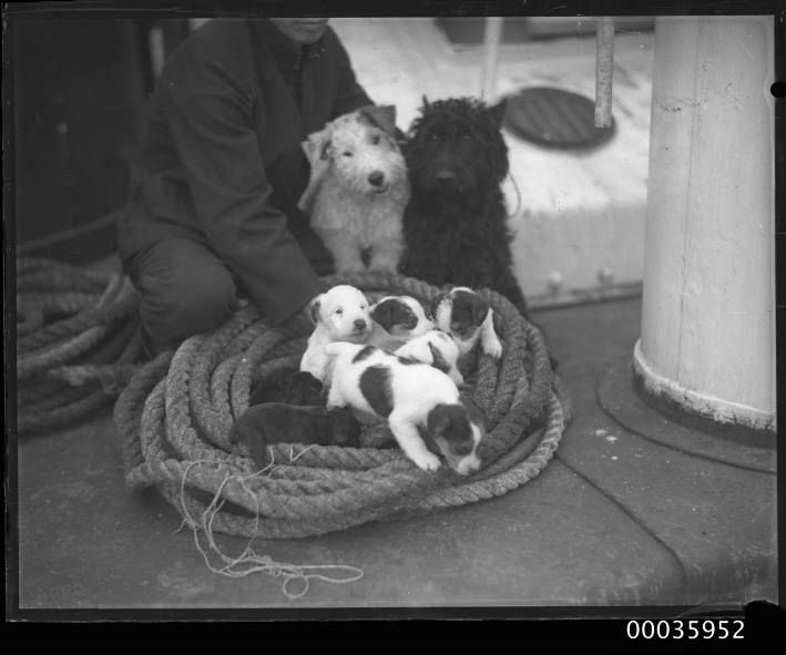 Seaman_on_YAHIKO_MARU_with_two_terriers_and_a_litter_of_puppies,_c_1950_(8052103323).jpg (709×591)