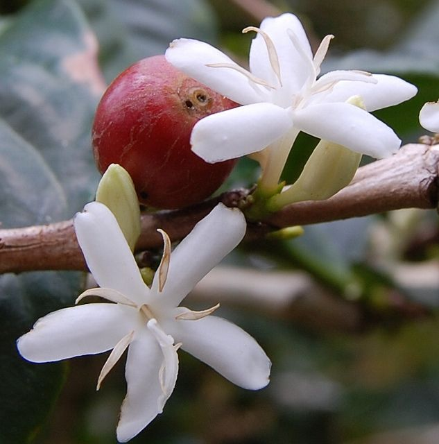 Coffee flower and a prematurely ripe bean.