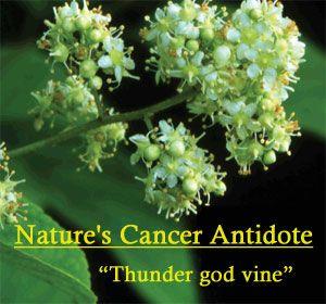 Thunder god vine