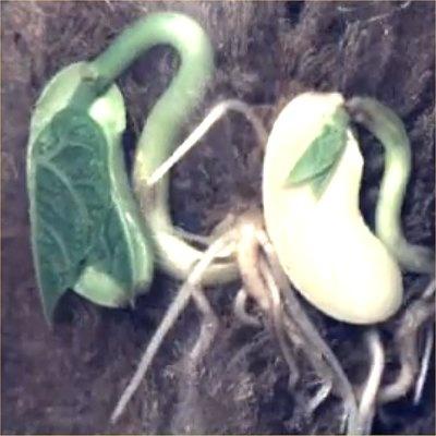 Per què es mouen les plantes? | ARC. Primària.