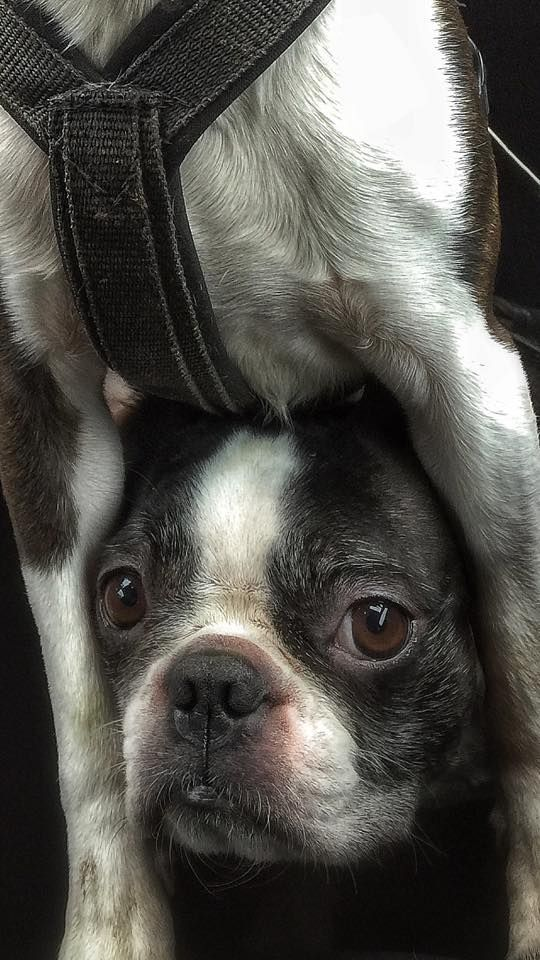 PEEK-A-BOO! - See this Funny Boston Terrier Dog Under Another! ► http://www.bterrier.com/?p=28838 - https://www.facebook.com/bterrierdogs