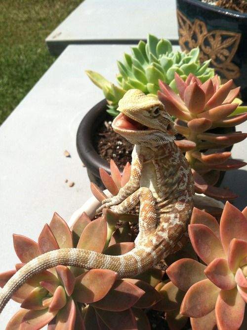 I pinned this for the plants but I really think the bearded dragon is cute. (I have a young friend who agrees... proving beauty is really is in the eye of the beholder.)
