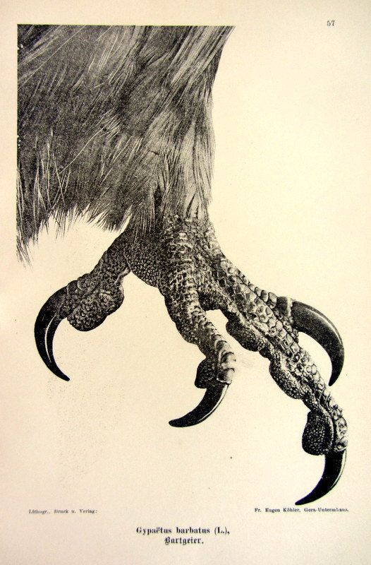 Antique 1903 sharp claw of bearded vulture by LyraNebulaPrints, $19.50