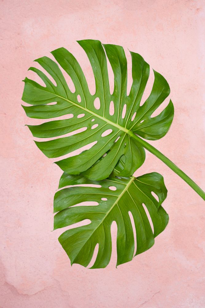 Plants on Pink - Philodendron