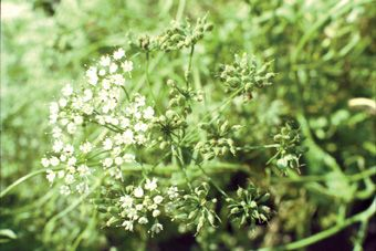 Anýz je jednoletá rostlina, která se pěstuje pro semena. http://www.semena-rostliny.cz/bylinky-semena/15396-an-z.html