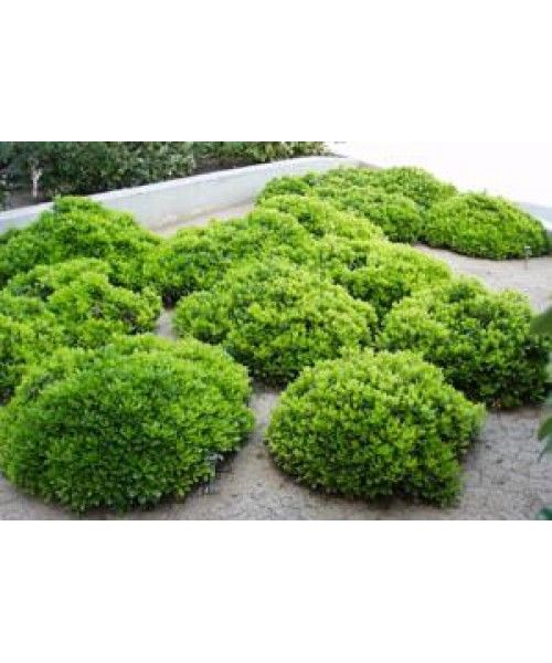 1000 images about shrubs on pinterest sun spring and evergreen shrubs. Black Bedroom Furniture Sets. Home Design Ideas