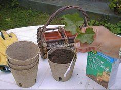 Le bouturage des géraniums en pratique. Prélèvement des boutures, habillage, plantation en godets.