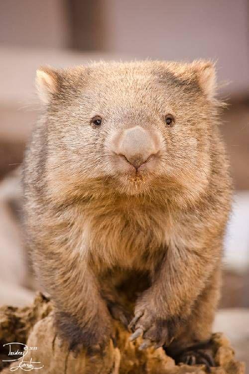 CUTE - Wombat
