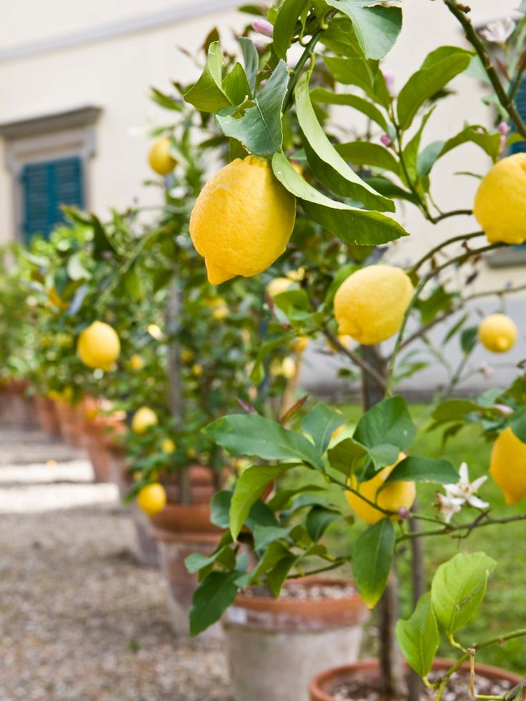 Short on space?  You can still enjoy fresh fruit!  How to grow fruit trees in containers-->  http://hg.tv/107jbGardens Ideas, Fruit Garden, Pots Lemon, Italian Courtyard, Garden Fruit, Outdoor, Growing Fruit Trees, Trees In Pots, Lemon Trees