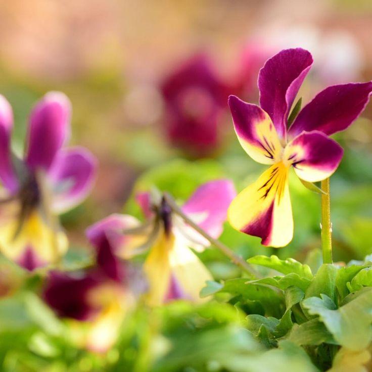 暖かい立春の日のたそがれジョニー一家の団欒です #ビオラ#たそがれジョニー #見元園芸#viola#nature#igw_flower #pocket_flowers #blooming_petals #ip_blossoms #bns_flowers #splendid_lite #superb_flowers #9vaga9 #kings_flora #eyecatching_pics #myheartinshots #rainbow_petals #nature_special_ #igscflowers #lovely_flowergarden #loves_garden #tv_flowers #pretty_shotz #ponyfony_flowers #whim_fluffy #loves_flowers_