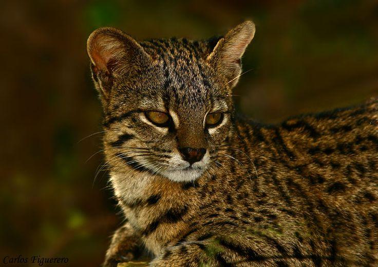 gato montés argentino o de Geoffroy - Leopardus geoffroyi