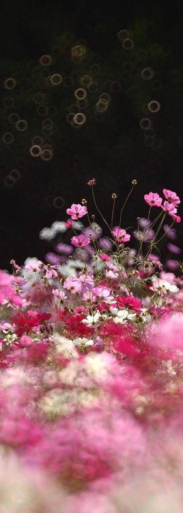 #pink #garden #flowers