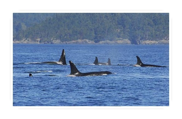 Whale watching with Eagle Wing Whale Watching Tours is awesome! Love the orcas and their curious, playful nature.