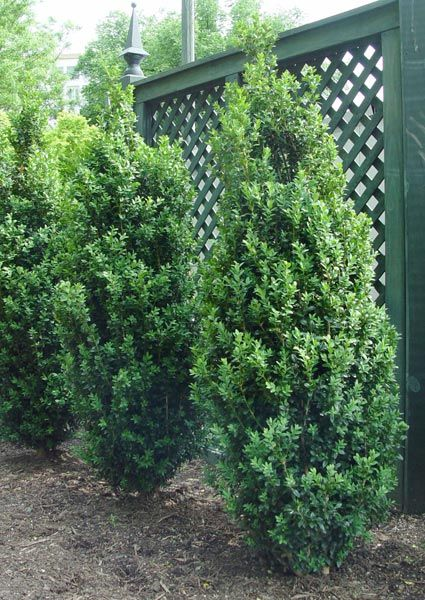*Boxwood 'Dee Runk' is reportedly the nicest of the columnar boxwoods tolerating shade and clay soils.  Total height of 8-10 ft tall can be sheared shorter.  Max width about two feet.  Advantage over other upright boxwoods is dense growth that won't flop open.  Will fit nicely next to the porch stairs and in the corner by the garage.
