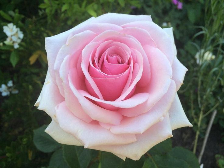 888 best Roses 29 images on Pinterest   Gardens, Beautiful roses ...