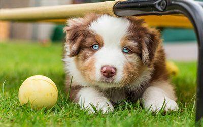 Scarica sfondi Cucciolo di Pastore Australiano, cane, carino animali, gli occhi Blu