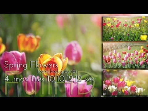 Blossoming Tulips Flowers   #tulips #flowers #blossom #garden #loopvideo #nature #videohive