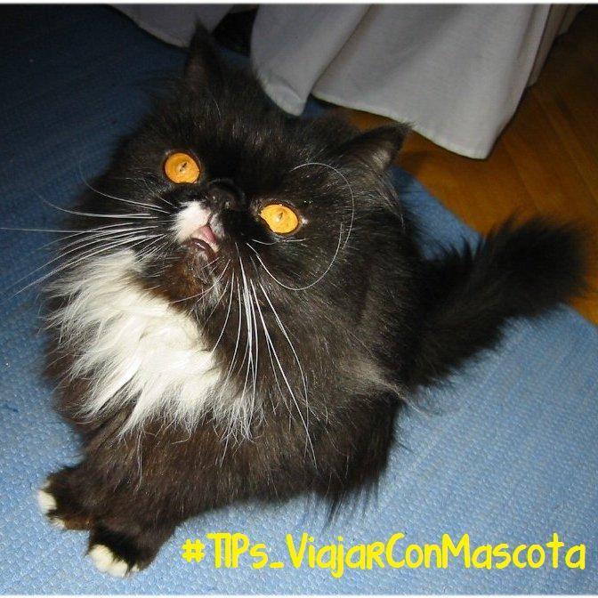 Sasha. El gatito inglés con nombre ruso que vivía con Isa en Madrid