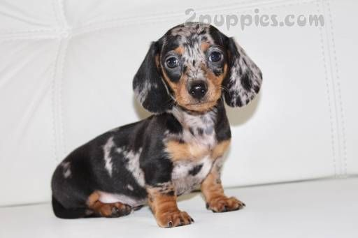 Find Your Dream Puppy Of The Right Dog Breed At Dachshund