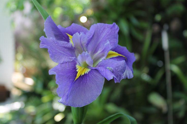 water iris Nov 15