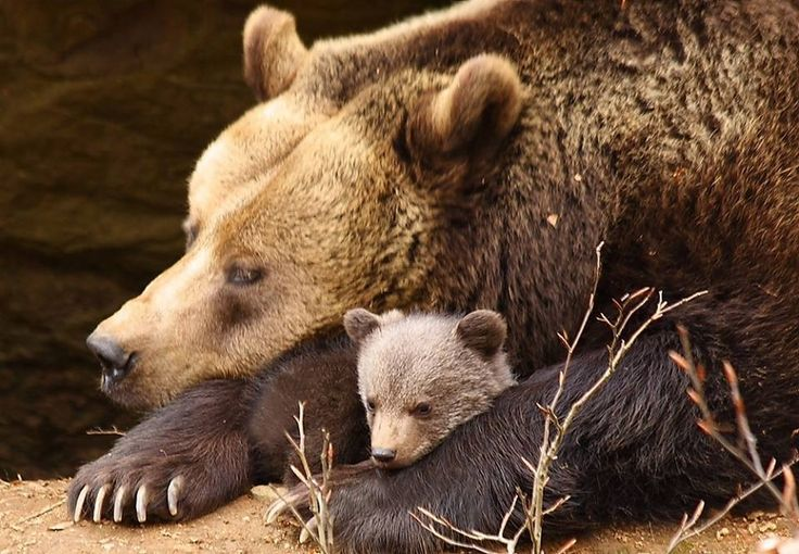 Bear Cubs Are Really Playful Play Fighting Is Very