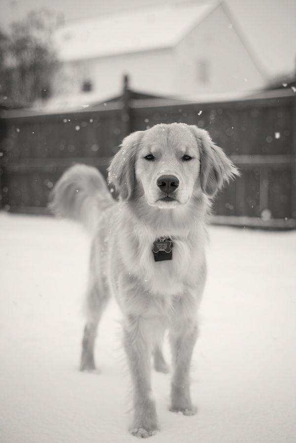 Hmk Photography Golden Retriever In Snow Black White Pet