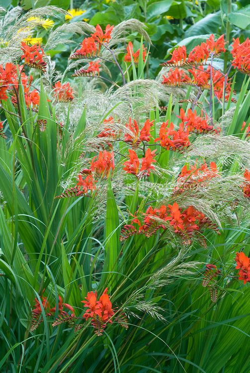 crocosmia lucifer bulbes pinterest ornamental