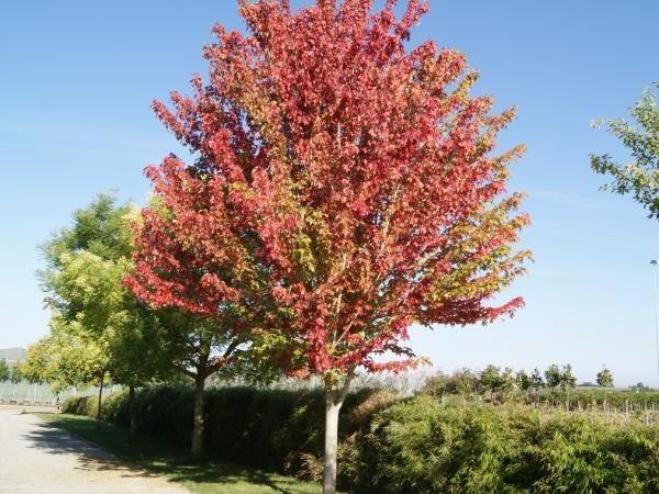 Érable rouge du Canada October Glory, 90/100 cm pot 1L - Acer rubrum October Glory : acheter en ligne sur Jardins Du Monde. Pépinière, jardinerie en ligne. Livraison partout en Europe