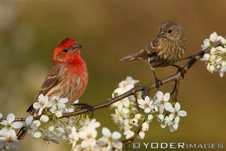 Male and female house finches | Birds are amazing
