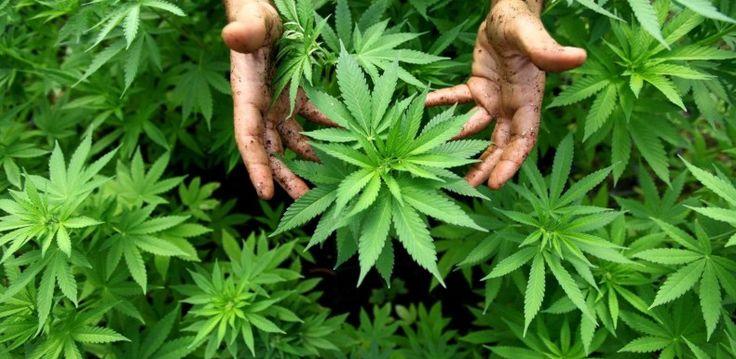 """""""Cette plante renferme donc un potentiel réellement révolutionnaire, car elle pourrait remplacer efficacement un grand nombre de pratiques et produits industriels. Le chanvre est souvent appelé le don de Dieu à l'humanité. Cependant, en raison de décennies de propagande et de désinformation, le chanvre ne reçoit toujours pas l'attention qu'il mérite.""""... http://www.lesartisansdufrais.com/pages/actu/environnement/le-chanvre-la-plante-de-l-avenir.html#IfcQs8cPKM4Py0Oc.01"""