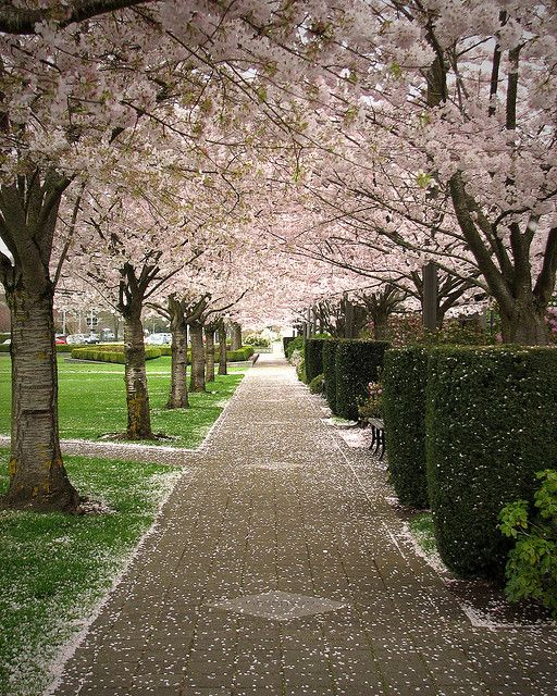 Cherry trees in bloom at the Capital Park, Salem, Oregon
