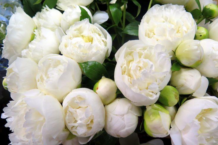 Lush, elegant white peonies