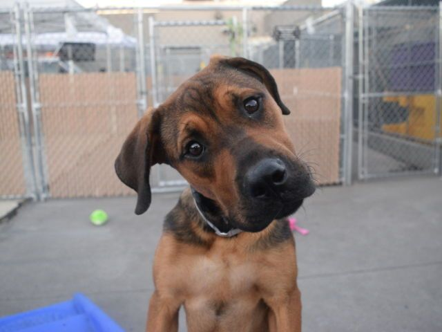 DEUCE - A1092720 - - Brooklyn  Please Share:TO BE DESTROYED 10/16/16 **ON PUBLIC LIST – AMAZING AVERAGE RATING**  Can you just handle that face???!!! Meet Decuce, a 10 month old Rottie/Black Boerboel mix (fancy, right?/). Deuce and her littermates were brought into the ACC after their owner had personal problems and no longer had time for them. Deuce is said to be friendly, playful, affectionate and easy going. She has not been around children or knows commands. But t
