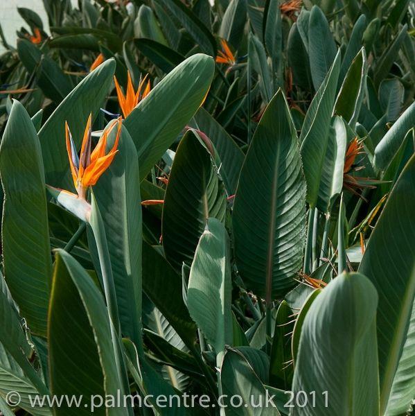 Strelitzia reginae - Bird of Paradise Plant From Palm Centre