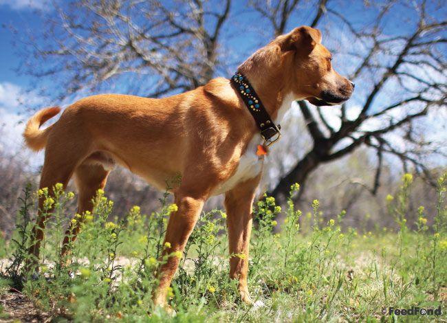 German Shepherd Pitbull Mix Dog Breed Guide For 2020 Dog