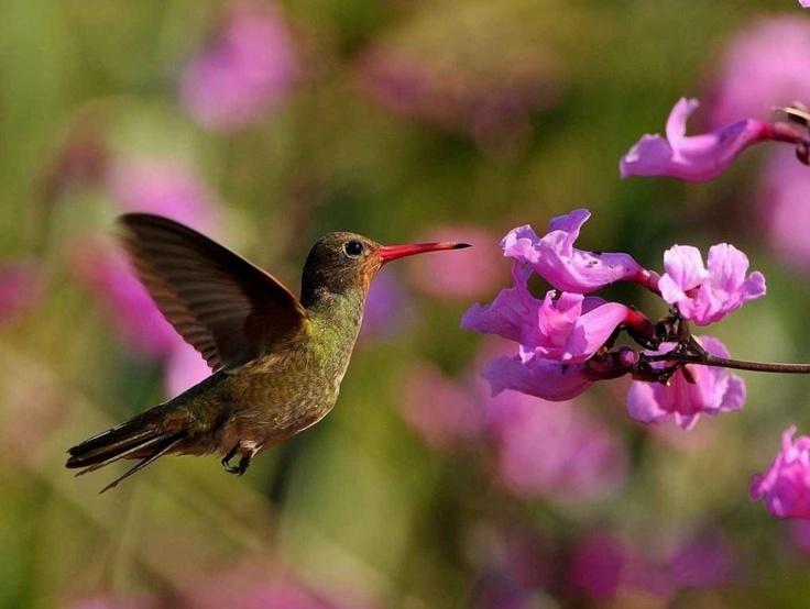 Pantanal, colibri doré