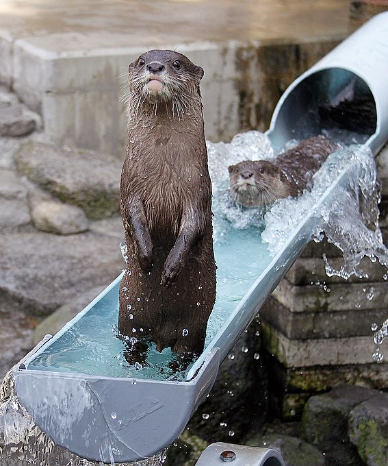 A river otter stands up after hitting the waterslide at Ichikawa Zoological and Botanical Garden in Ichikawa, east of Tokyo, Wednesday, July 30, 2014. Playful otters spend their time swimming and playing in the waterslide that was built two years ago in commemoration of the 25th anniversary of the zoo for the mammals to beat the summer heat.