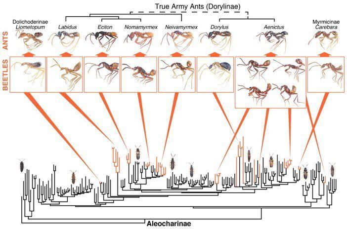 """丸山宗利ωさんのツイート: """"12年かけた調査の論文が出ました。主に軍隊アリ類と共生するハネカクシが、古い時代から12-15回独立にアリの姿に進化したことが判明。この大規模な収斂進化を通して、一つの進化の方向性を示したとも言えます。w/ @Pselaphinae https://t.co/jFPAH58bFw https://t.co/6AszcQ8wnJ"""""""