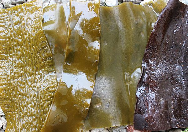 Kelp seaweeds are known to contain a considerable amount of algin (alginic acid) and are also a rich source of other polysaccharides like sulfated fucoidan and laminarin.
