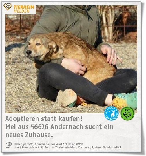 Die verspielte Mel aus dem Tierheim Andernach sucht nach einem Zuhause.  https://www.tierheimhelden.de/hund/tierheim-andernach/mischling/mel/14125-0/  Mel sucht ein Zuhause ohne Kinder. Ein souveräner Zweithund oder eine Katze wären kein Problem.