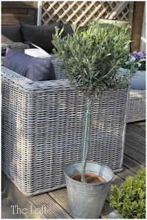 grey wicker garden furniture zinc pail with standard olive tree - lovely! THE LOFT