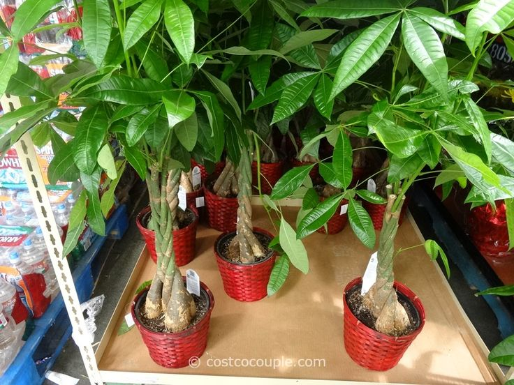 guide to pruning a braided money tree