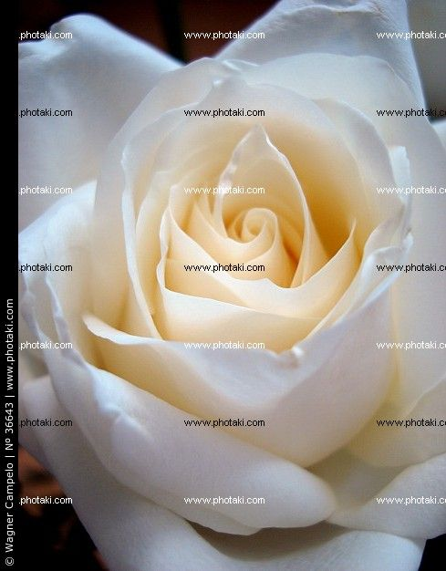 http://www.photaki.com/picture-white-rose-petals_36643.htm