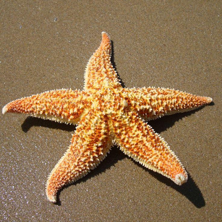 secas estrelas do mar vender por atacado - secas estrelas do mar ...                                                                                                                                                                                 Mais