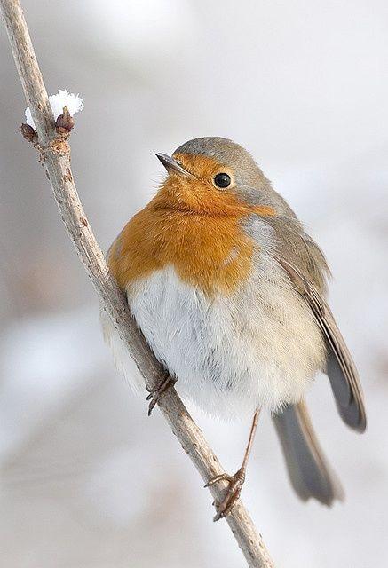 I looooove this little bird…Robin Red Breast.